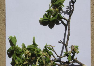 croquis herbier acer capestris